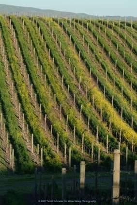 rolling vinyards