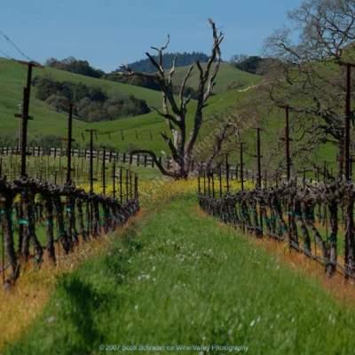 vinyard dead tree